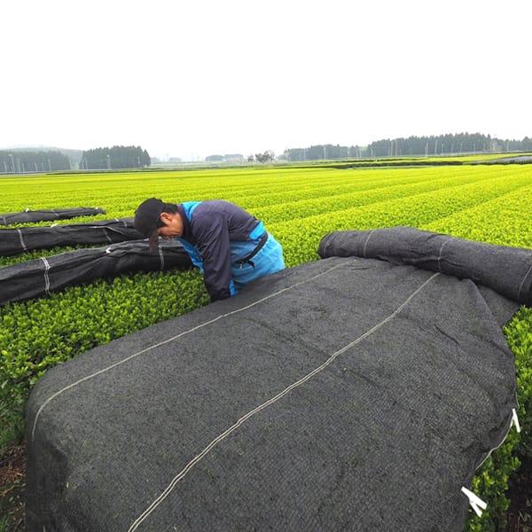 かぶせ製法の茶葉